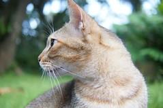 DSC01472 (RamaWangFlickr) Tags: cat gato neko katze gatto   lechat  taipeibotanicalgarden vivitar28902835 nex5n