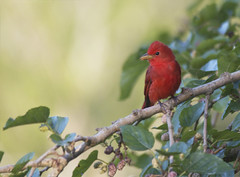 Summer Tanager (Billtacular) Tags: bird nature outdoors la spring louisiana wildlife birding migration birdwatching grandisle grandislemigratorybirdfestival