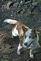 Jackpot Kelpie and Border Collie mix Works for Susie on her Ranch in the Idaho Mountains 140703-084759 C4VTc (Wambeke & Wambeke Photography, Art, & Textiles) Tags: dog brownandwhitedog ranchdog kelpiebordercolliemix