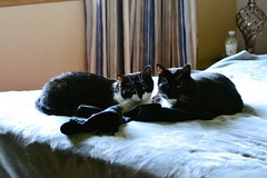 Fred & Sweety (Vegan Butterfly) Tags: cats cute love animals bed sister brother pair adorable siblings felines cuddles
