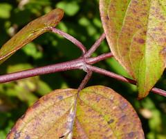 summer plant leaves newjersey stem nj shrub somersetcounty cornus cornaceae cornusamomum silkydogwood cornales warrentownship glenhurstmeadows