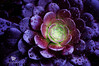Aeonium, NETHERLANDS (Yannick-R) Tags: pictures flowers flower netherlands photography photo photographer pentax picture yannick aeonium kx rivoire