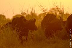 Troupeau de buffles (Yvann Krupa) Tags: africa buffalo african wildlife botswana africain afrique southernafrica buffle synceruscaffer wildcattle afriqueaustrale buffledafrique bubalina parcnationaldechobe