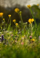 Wiese (alexandradopf) Tags: sommer wiese gras