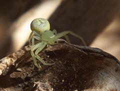 Thomisidae Crab spider DSCF2204 (Bill & Mark Bell) Tags: exmouth westernaustralia australia geo:town=exmouth geo:state=westernaustralia geo:country=australia geo:lon=11425453egeolat2217752sgeoalt8m 11425453e2217752salt8m taxonomy:kingdom=animalia animalia taxonomy:phylum=arthropoda arthropoda taxonomy:class=arachnida arachnida taxonomy:order=araneae araneae taxonomy:family=thomisidae thomisidae taxonomycommonnamecrabspider crabspider spider
