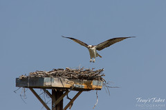 Osprey landing sequence - 5 of 14