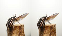 Rhomborrhina polita, stereo parallel view (Mushimizu) Tags: inflight 3d stereo parallel flowerchafer rhomborrhinapolita