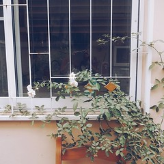 ดีใจที่กลับมาบ้าน เห็นกุหลาบอังกฤษที่ปลูกออกดอกทุกวัน และแผ่กิ่งเลื้อยตามกำแพงและหน้าต่างหลังบ้าน สร้างความสุขให้ทุกครั้งที่กลับถึงบ้าน และคิดชนะเข้าข้างตัวเองว่ากรุงเทพก็สามารถปลูกกุหลาบอังกฤษได้ แถมเจริญงอกงามโตวันโตคืน เอาจริงๆ เราตั้งใจปลูกนะ และก็ชอบ