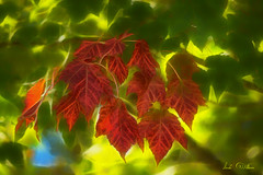 Its Coming (Lindaw9) Tags: autumn red ontario tree green fall leaves river french maple district northern turning