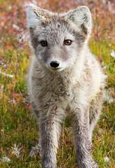 svalbard express 207 (GLRPhotography) Tags: 150 svalbard arctic 600 fox tamron spitsbergen 150600 150600mm tamron150600mm tamron150600