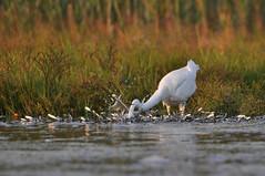 (Evan Pagano) Tags: evan white river island fishing kayak great rhode narrow egret pagano