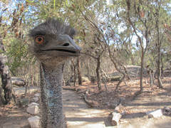 Being attacked by an Emu. (RooMar) Tags: bird nature up animal bush close wildlife attack sydney australia angry emu