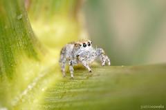 Araña saltadora / Jumping spider (pablocov) Tags: españa animal animals spider spain galicia araña jumpingspider arachnida tamron90mm salticidae d90 arañasaltadora