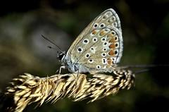 Papillon argus, Les Tourrettes Drôme France