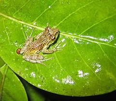 Frog, Ranomafana National Park (Niall Corbet) Tags: forest nationalpark rainforest amphibian frog unesco worldheritagesite madagascar ranomafana anura