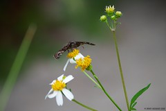 Common Sootywing (Chasing Photons) Tags: nikon charles wait d4s nikond4s cewait chasingphotons