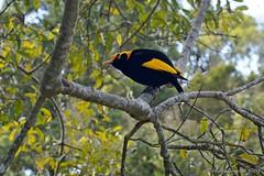 male bird australia qld queensland oreillys bowerbird blackyellow ptilonorhynchidae regentbowerbird sericuluschrysocephalus sericulus