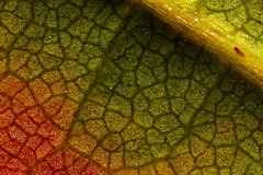 Fall Foliage 10x Magnification, Hedge Maple Leaf, Coventry CT (Macroscopic Solutions) Tags: new pink autumn red england color macro green art fall nature colors yellow zeiss photography leaf 3d maple interesting colorful flickr connecticut naturalhistory watermelon foliage hedge physics veins coventry macropod cells natures magnify uconn storrs molecules viral macrophotography molecular macrography magnification photomicrography 10x macroscopic phph phymata phasmida photomacrography photostacking zerene zerenestacker macroscopicsolutions zerenestackerzerene