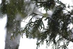 (Hayley Mastey) Tags: snowflake trees winter snow macro tree nature pinetree pine snowflakes nikon dof bokeh depthoffield snowfall pinetrees nikond3200 d3200