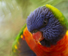 IMGL2492 v2 (loobyloo55) Tags: tree bird parrot australia rainbowlorikeet