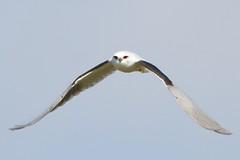 Level flight (Geoff Main) Tags: kite bird australia act birdofprey birdinflight blackshoulderedkite jerrabomberrawetlands canon7d canonef300mmf28lisiiusm canonefextender14xiii