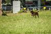 MDH-3277 (Highway0311) Tags: jason dutch cali work french photography highway shepherd echo canine des ring sniper devo bite zippy karma mali davis malinois jumps k9 chino decoy kharma esquive highwayphotography