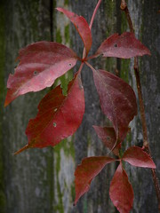 Virginia Creeper (Dendroica cerulea) Tags: autumn red plant leaves garden newjersey nj vine foliage highlandpark vitaceae virginiacreeper parthenocissus vitales parthenocissusquinquefolia middlesexcounty