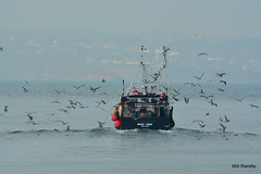 the flock go after the shoal (williamrandle) Tags: sea southwest nikon harbour gulls flock fishingboat seabirds brixham southdevon d7100 80400mmafs4556gedvr torbay2014