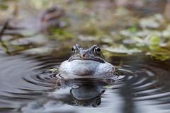 Good Vibrations (11282) (jonathanclark) Tags: frog amphibian wwt castleespie pond water wet vibration ripples nature natural wild wildlife