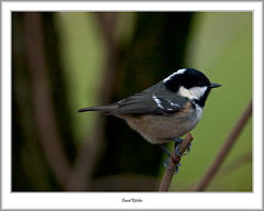 Coal Tit, Mugdock (flatfoot471) Tags: 2017 animal bird coaltit mugdock normal scotland stirlingshire unitedkingdom winter gbr