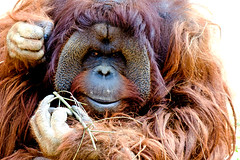Male Bornean Orangutan, Robin of Yokohama Zoological Gardens : ボルネオオランウータンのロビン(よこはま動物園ズーラシア) (Dakiny) Tags: 2017 spring march japan kanagawa yokohama asahiward outdoor nature park zoo zoorasia yokohamazoologicalgardens creature animal mammal ape hominidae orangutan borneanorangutan robin red orange bokeh nikon d7000 afsvrzoomnikkored70200mmf28g(if) nikonafsvrzoomnikkored70200mmf28g(if) nikonclubit