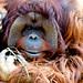 Male Bornean Orangutan, Robin of Yokohama Zoological Gardens : ボルネオオランウータンのロビン(よこはま動物園ズーラシア)