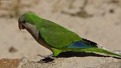 Papuga z Santa Ponsa na Majorce (dreptacz) Tags: papuga ptak majorka birds hiszpania wyspa natura sony slt lustrzanka zielony kolorowy flickrtravelaward