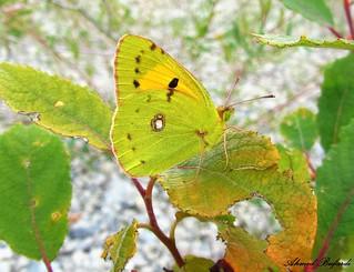 Butterfly 1186