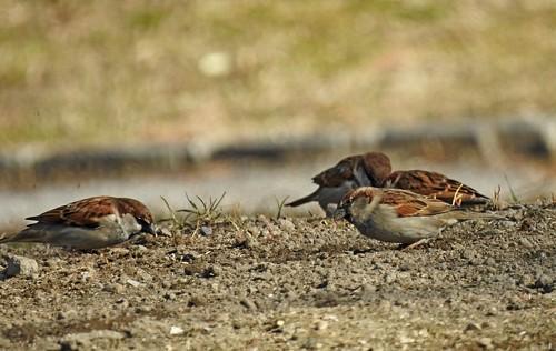 "Italiensperling ""Passer Italiae"" Italian Sparrow"