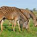 Plains Zebras (Equus quagga burchellii) grazing ...