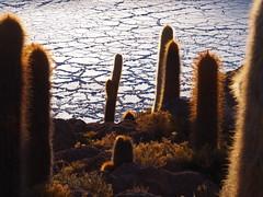I am a cactus (VinZo0) Tags: explored salar cactus uyuni desert sunrise nature irreel bolivia bolivie amerique latine landscape island plante exterieur light lumiere