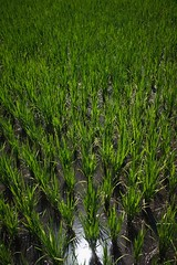 Paddy field (Syahrel Azha Hashim) Tags: grass lombok nature labourintensive sony indonesia holiday nopeople simple rice details foodsource a7ii ilce7m2 dof lombokisland detail sonya7 getaway handheld 35mm colorimage vacation leafs prime light field naturallight seasonal food irrigation beautiful travel syahrel shallow planting colors green paddyfields 2017 colorful agricultures