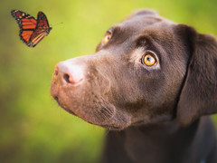 Ziggy & butterfly (Greig Reid) Tags: camera family dog color colour cute male green beautiful face photoshop canon butterfly garden puppy lens outside outdoors eos prime daylight photo eyes lab flickr labrador dof availablelight chocolate character creative picture 85mm naturallight headshot retriever depthoffield photograph 5d f18 edit matte mixology actions chocolatelabrador catchlight markiii preset photoshopactions landscapeformat lightroompreset slrlounge