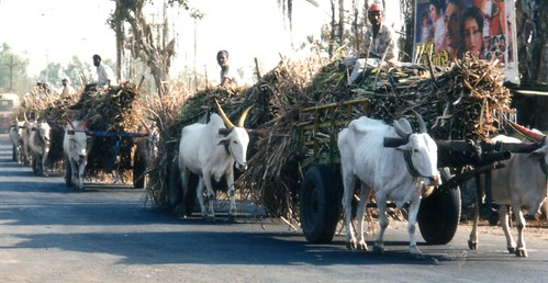 Sugar cane ox carts