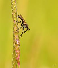 Empididae (JPF Photos) Tags: macro nature closeup insect fly close natural insecte insectes macrophotography macrophotographie empididae