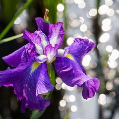 With lights (peaceful-jp-scenery) Tags: iris sony  amount     sal70300g  70300mmf4556gssm kamogarden kamohanasyobuen 99 slta99v dslra99
