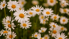 Daisy (ATFotografy) Tags: morning flowers wallpaper white flower green nature beautiful yellow garden day bokeh many daisy zoomlense atfotografy