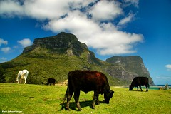 View From Near Capella Lodge to Mt Lidgbird & Mt Gower, Lord Howe Island, NSW (Black Diamond Images) Tags: horse mountain island cattle cows scenic australia caldera nsw lordhoweisland worldheritagearea blackcows mountlidgbird mountgower mtgower mtlidgbird thelastparadise