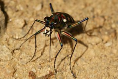 The ferocious and colourful Tiger Beetle (robferblue) Tags: china sunshine insect cross south tiger beetle rob hong kong colourful ferguson