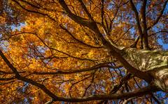 Tree of fire (lesterlester1) Tags: autumn tree leaves fire lesterlester leafs woodthorpepark lesterlester1