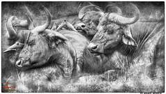 AvaniAmore3490 (avaniamore) Tags: africa nature kenya masaimara africanbuffalo