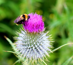 thistle and bumblebee Explored 30/06/14 (Jackal1) Tags: june302014 explored thistle bumblebee nature pollen plant flower bokeh scotland canon