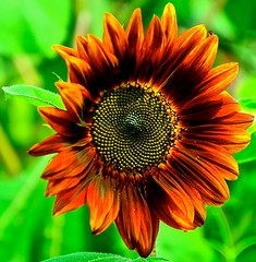 Sunflower -Helianthus annuus - Geneva Community Garden - Geneva IL (Meridith112) Tags: red orange flower green nikon geneva bokeh sunflower photo2 chicagoist helianthusannuus nikon2485 genevaparkdistrict nikond7000 photo2a genevacomunitygarden