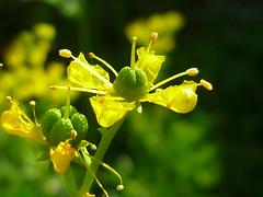 Weinrauten-Blüte (Jörg Paul Kaspari) Tags: flower fleur ruta sommer gelb blüte herb kräuter gewürz 2014 rutagraveolens graveolens wiltingen weinraute